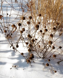 echinacea, rudbeckia and miscanthus in winter