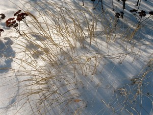 fountain grass and sedum in snow
