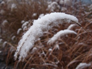 miscanthus sinensis close up in snow
