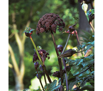 Angelica gigas available online at  White Flower Farm
