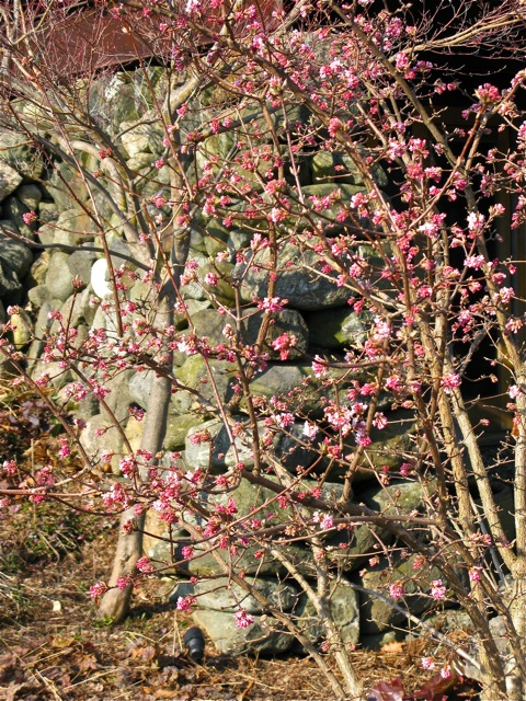 viburnum bodnantense dawn blooming the gardener 39 s eden. Black Bedroom Furniture Sets. Home Design Ideas