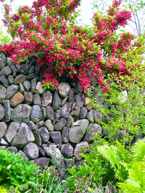 Seduced By The Charms Of Old Fashioned Flowering Weigela The