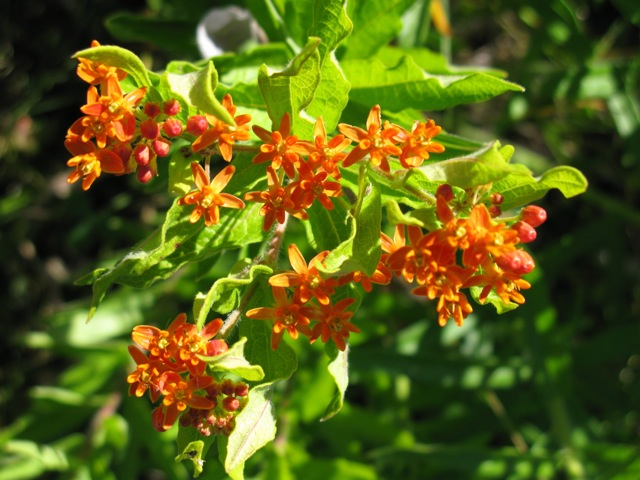 Aesclepias tuberosa Butterfly weed