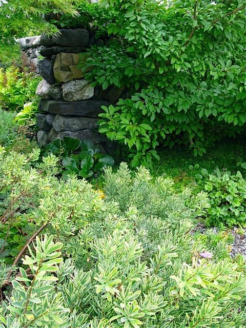 """... Michaela at TGE (Foreground plantings include Daphne 'Carol Mackie"""" and ..."""