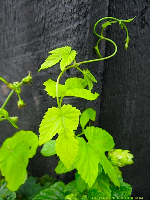 187 Golden Hops Vine The Gardener S Eden