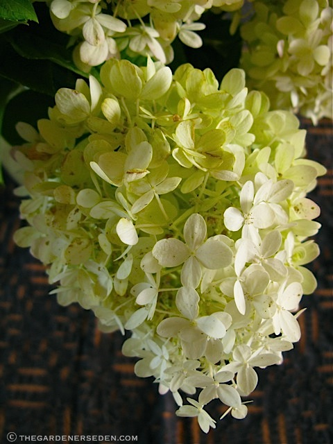 hydrangea paniculata limelight gorgeous color. Black Bedroom Furniture Sets. Home Design Ideas