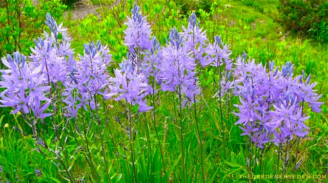Camassia Quamash Drawing Camassia Quamash is an
