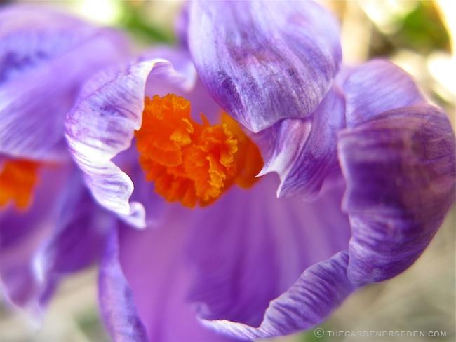 Crocus-Petals-Unfolding ©-Michaela @ TGE