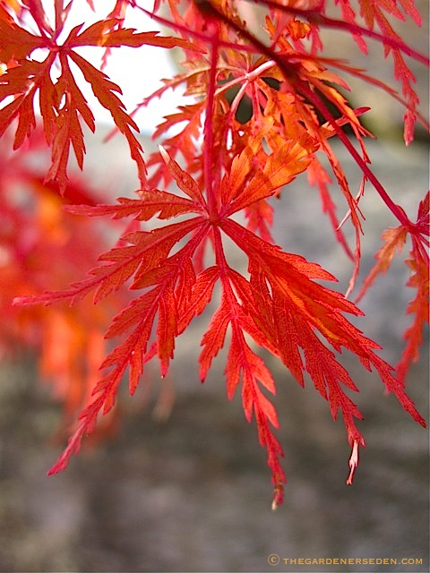 japanese maple leaf burn. Acer palmatum x dissectum