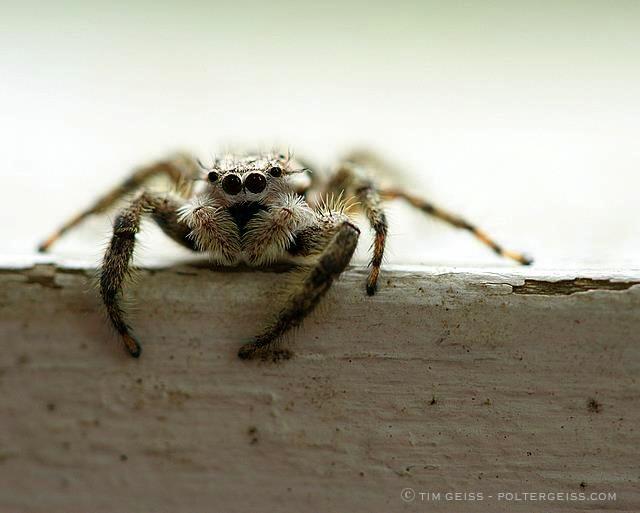 http://www.thegardenerseden.com/wp-content/uploads/2010/10/Jumping-Spider-%E2%93%92-Tim-Geiss.jpg