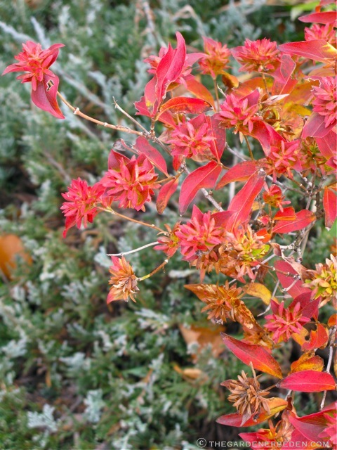 u00bb Abelia mosanensis and Juniperus horizontalis The ...