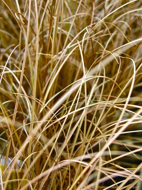 This Sensual Looking Carex Comans U0027Bronze ...