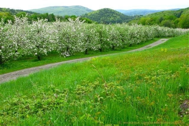 A Stroll Through The Blossom Laden Apple Trees Petal