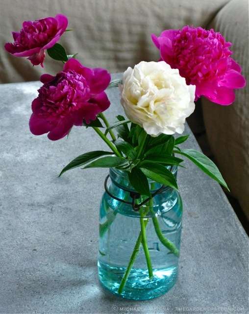 peonies are - How To Cut Peonies
