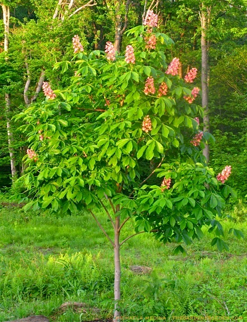 Pretty in pink the red horse chestnut aesculus x carnea fort aesculus mightylinksfo
