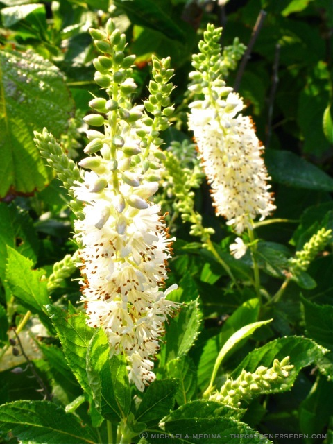 Clethra Alnifolia Pruning Clethra Alnifolia Beside