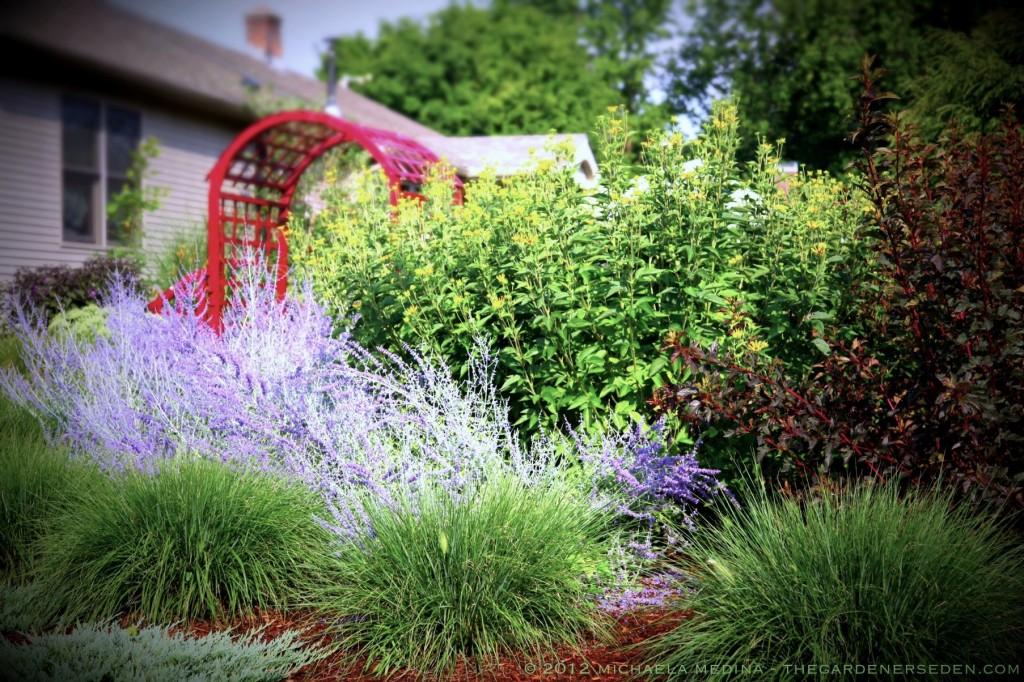 Garden Design New England miscanthus sinensis 'morning light' the gardener's eden