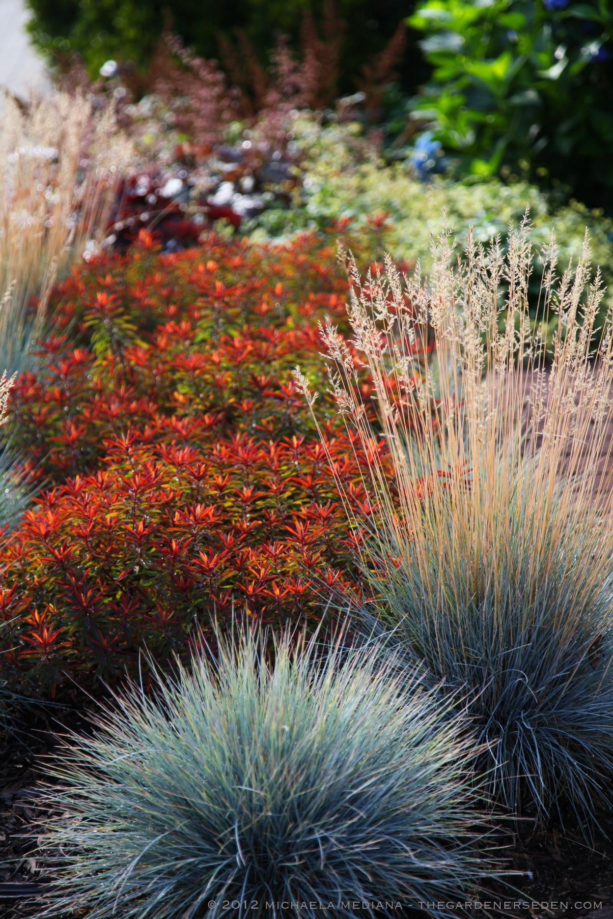 Perovskia atriplicifolia The Gardener\'s Eden