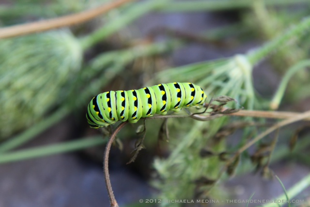 butterfly caterpillar identification the gardener s eden
