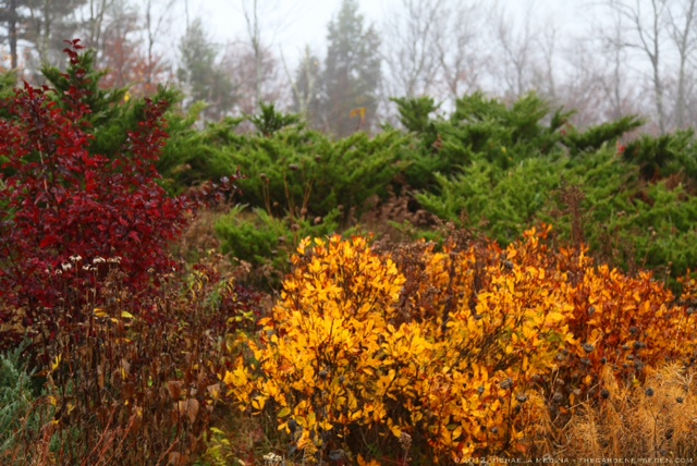 Clethra Alnifolia Paniculata Golden Clethra Alnifolia And