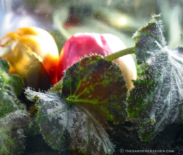 Begonia-Tangalooma-and-Glass-Ornaments-ⓒ-Michaela-at-TGE-2010