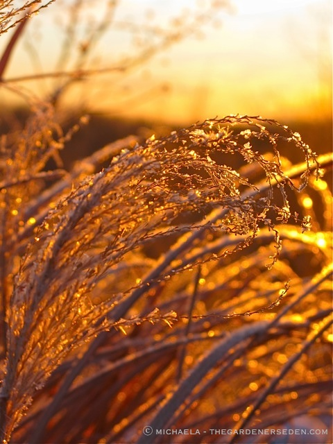 Morning-Light-Frost-on-Miscanthus-sinensis-ⓒ-2011-michaela-at-thegardenerseden.com_