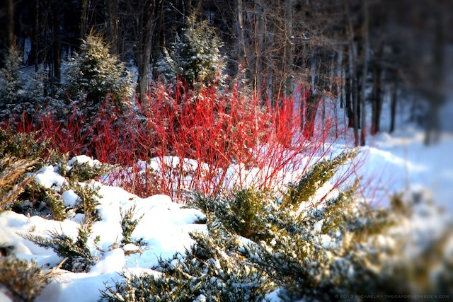 Ordinaire Red Twig Dogwood (Cornus Sericea) In A Sea Of Green Conifers ⓒ 2013 Michaela