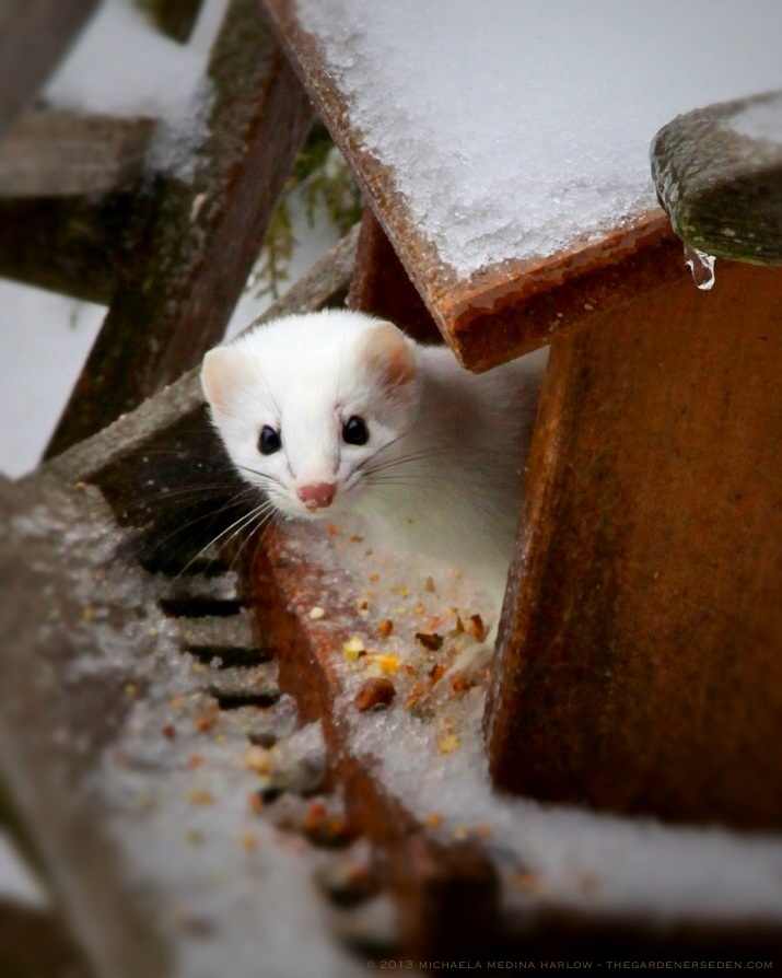 Stoat, Ermine, Short-Tailed Weasel ⓒ 2013 Michaela Medina Harlow - thegardenerseden.com