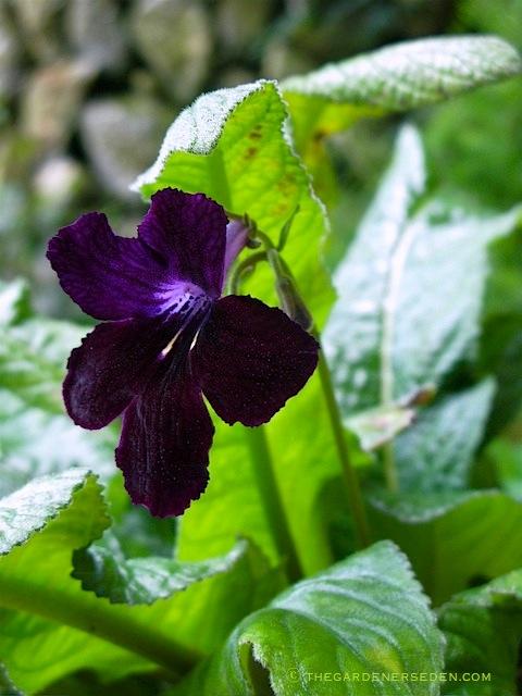 Streptocarpus-Black-Panther-ⓒ-Michaela Medina - thegardenerseden.comjpg
