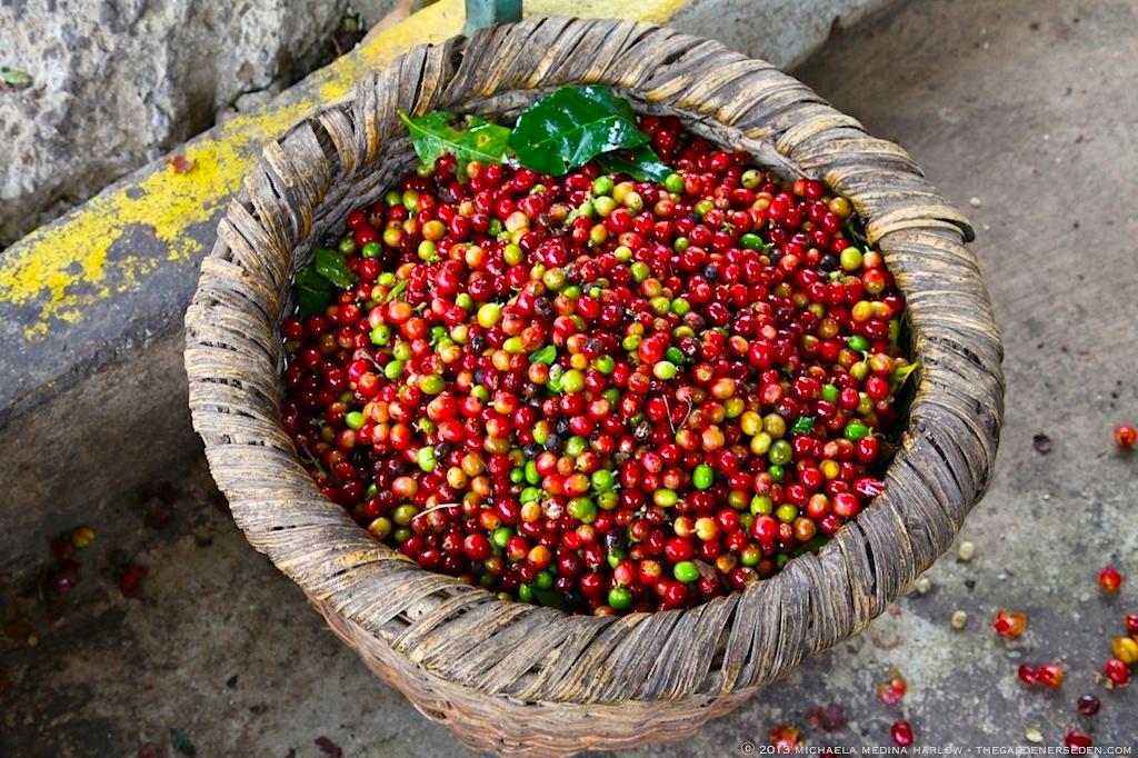 Coffee Bean Harvest - Finca Rosa Blanca Plantation ⓒ 2013 michaela medina harlow - thegardenerseden.com