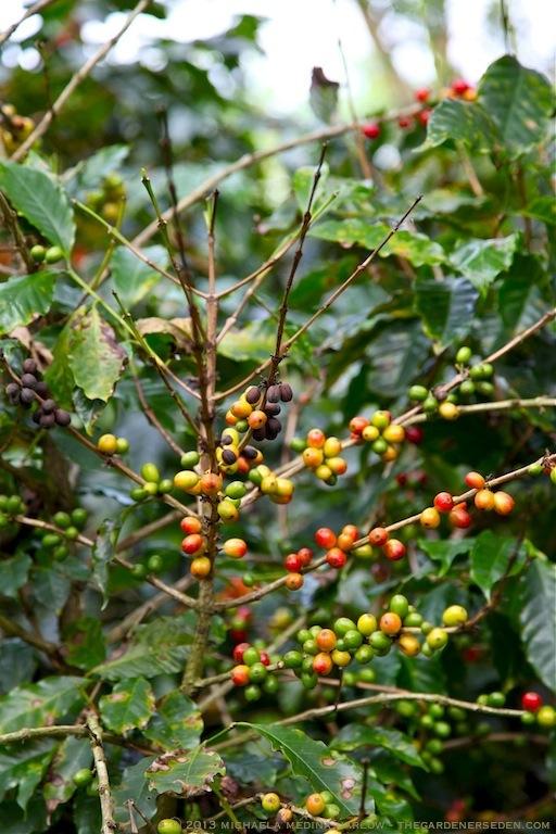 Coffee Beans - Finca Rosa Blanca Plantation ⓒ 2013 michaela medina harlow - thegardenerseden
