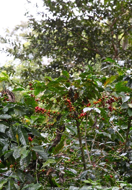 Coffee Beans in the Afternoon Mist - Finca Rosa Blanca Plantation ⓒ 2013 michaela medina harlow - thegardenerseden