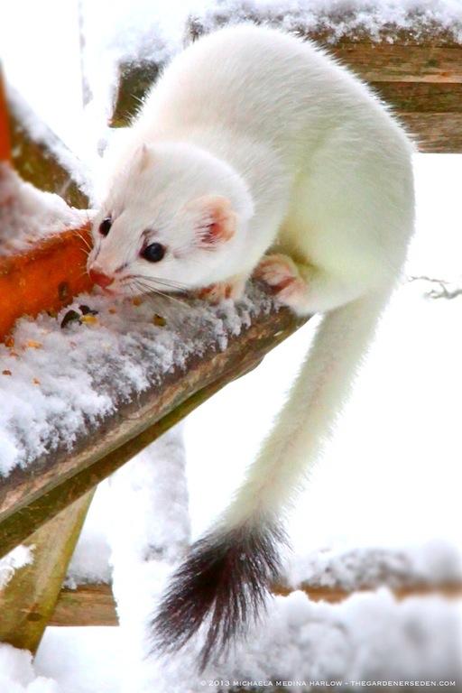Ermine (Stoat or Short-Tailed Weasel ⓒ 2013 Michaela Medina  - thegardenerseden.com