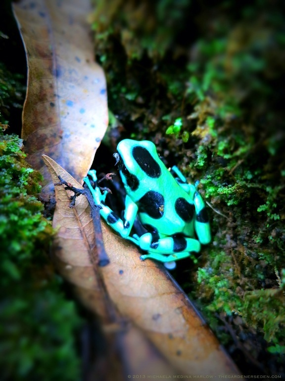 Green-and-Black Poison-Dart Frog, Cahuita National Park, Costa Rica ⓒ 2013 michaela medina harlow - thegardenerseden.com