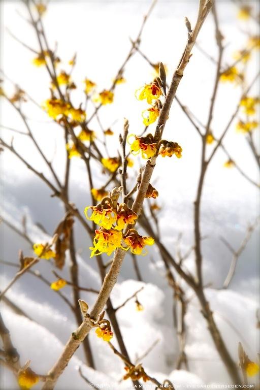 Hamamelis x intermedia 'Arnold's Promise' Blossoms in Snow ⓒ 2013 Michaela Medina Harlow - thegardenerseden