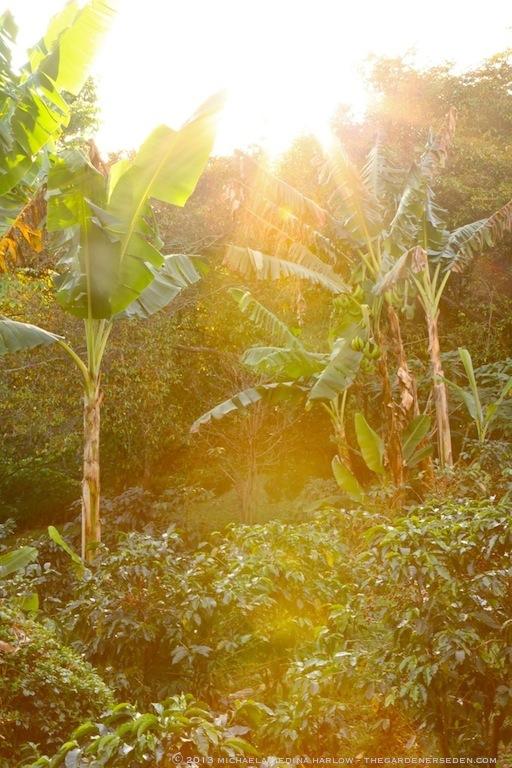 Permaculture at Finca Rosa Blanca's Organic Coffee Plantation ⓒ 2013 michaela medina harlow - thegardenerseden