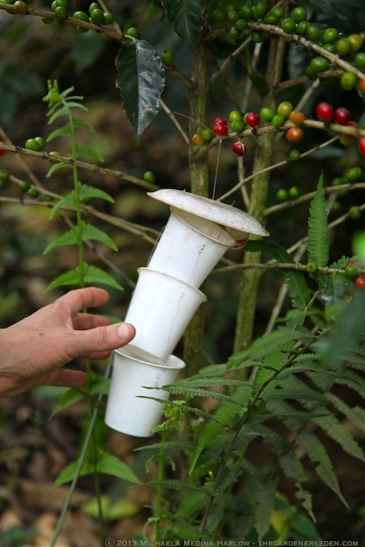 Phermone Trap for White Coffee Borer Beetle ⓒ 2013 Michaela Medina Harlow - thegardenerseden