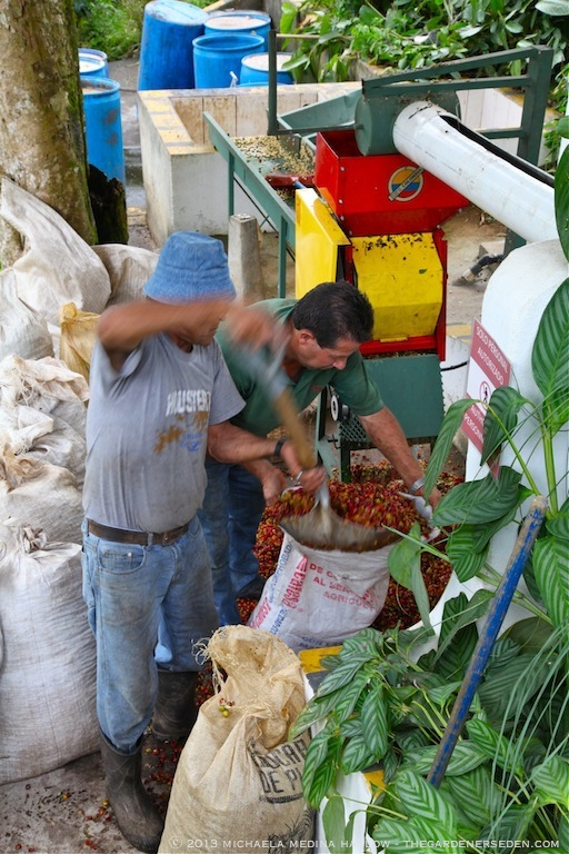 Processing Coffee Beans - Finca Rosa Blanca Plantation ⓒ 2013 michaela medina harlow - thegardenerseden