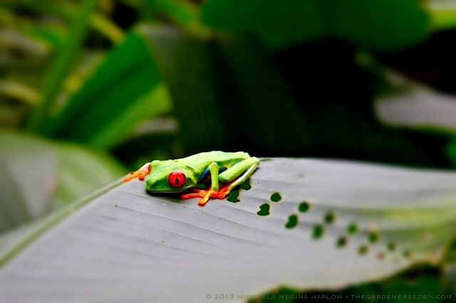 Red-Eyed Tree Frog, Rainforest, Costa Rica ⓒ 2013 michaela medina harlow - thegardenerseden.com