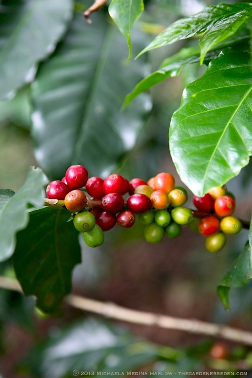 Ripe Coffee Berries at Finca Rosa Blanca Plantation, Costa Rica ⓒ 2013 Michaela Medina Harlow - thegardenerseden