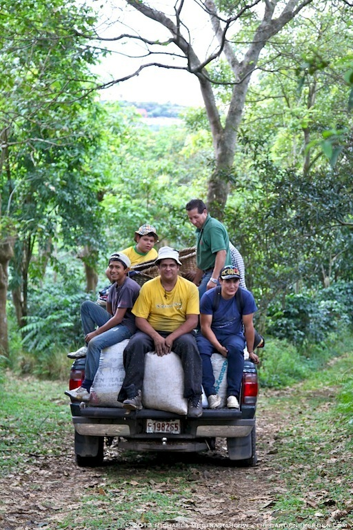 The Harvest Crew at Finca Rosa Blanca Plantation ⓒ 2013 michaela medina harlow - thegardenerseden