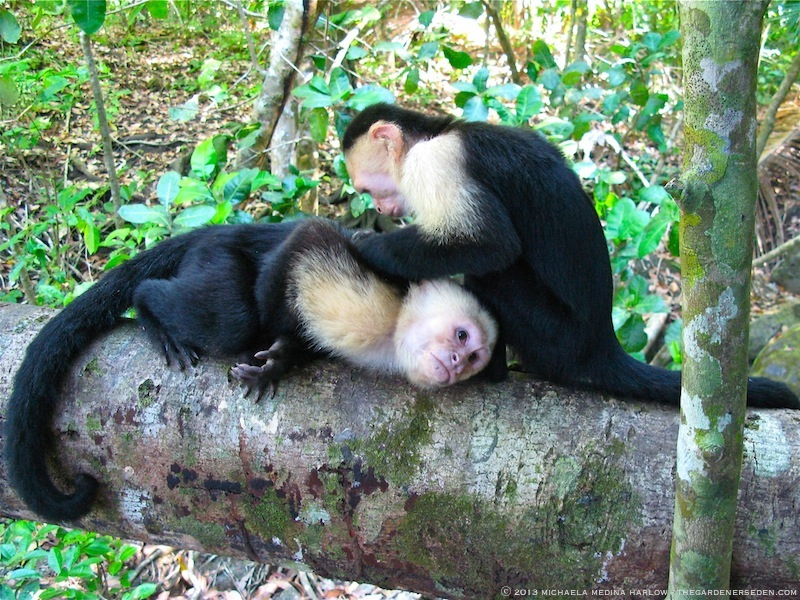 White-Faced Capuchin Monkeys  2013 michaela medina harlow - thegardenerseden