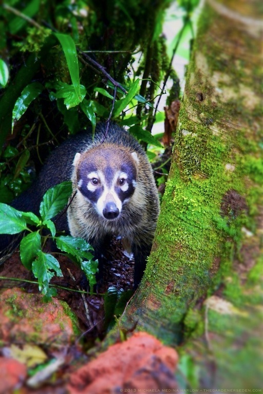 White Nosed Coati Nasua narica Costa Rica  2013 michaela medina harlow - thegardenerseden.com