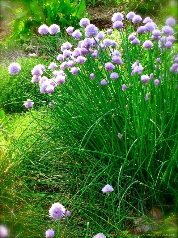 Chives_in_the_Potager_michaelamedinaharlow_thegardenerseden