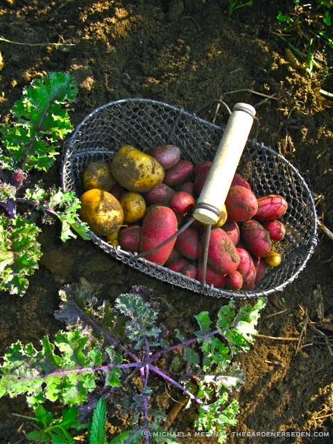 Heirloom-Potato-Harvest-ⓒ-michaela-medina-thegardenerseden