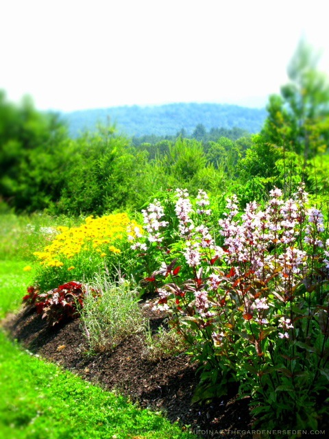 Penstemon-digitalis-Huskers-Red-Heuchera-Veronica-Coreopsis-Photo-Copyright-michaela-medina-thegardenerseden