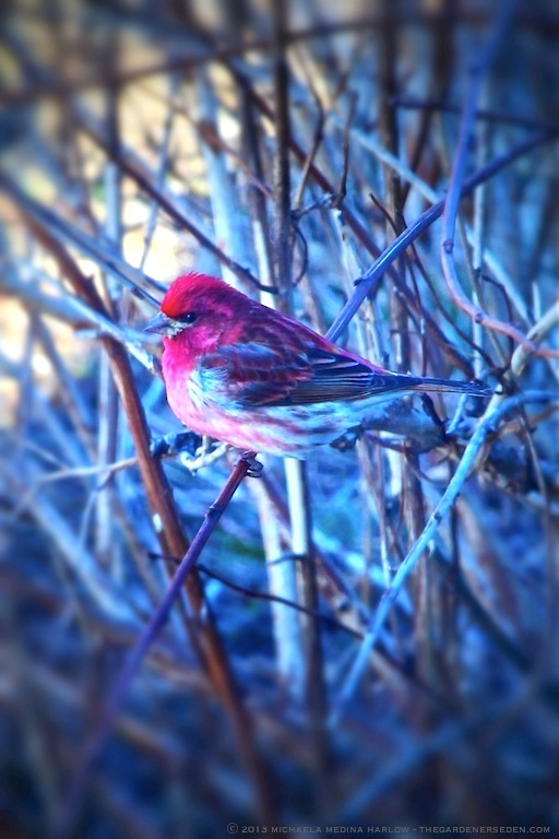 Purple_Finch_Copyright_2013_michaela_medina_harlow_thegardenerseden.com_no_use_without_permission