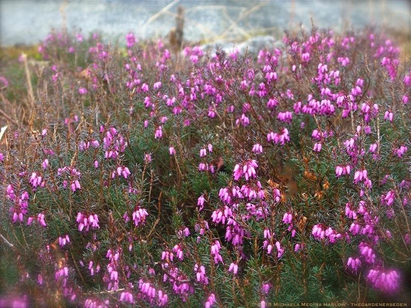 Spring Heath (Erica carnea) ⓒ michaela medina harlow - thegardenerseden