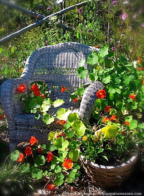 chair-with-nasturtium_copyright_thegardenerseden.comjpg