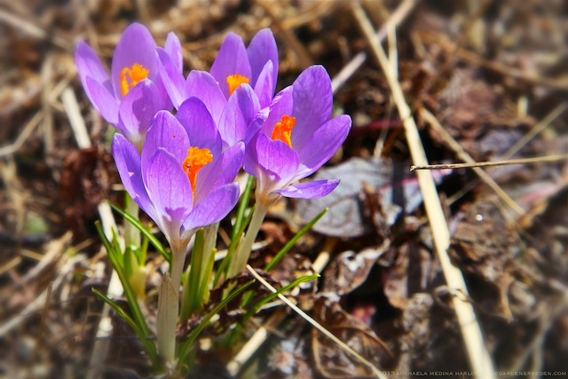 crocus_tommasinianus_Copyright_michaela_medina_harlow_thegardenerseden.com_no_use_without_permission